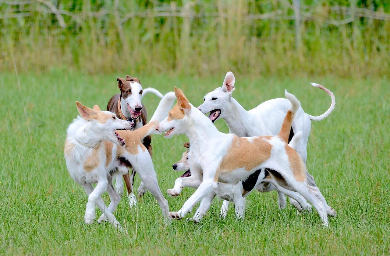 fun, dogs, running dog