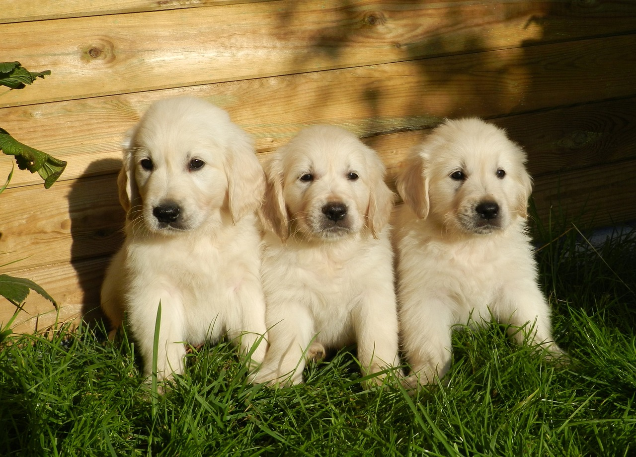 puppies, golden retriever, cute