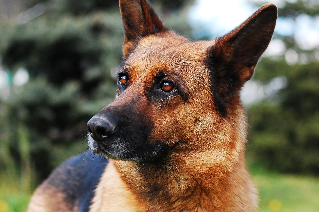 dog, animal, german shepherd