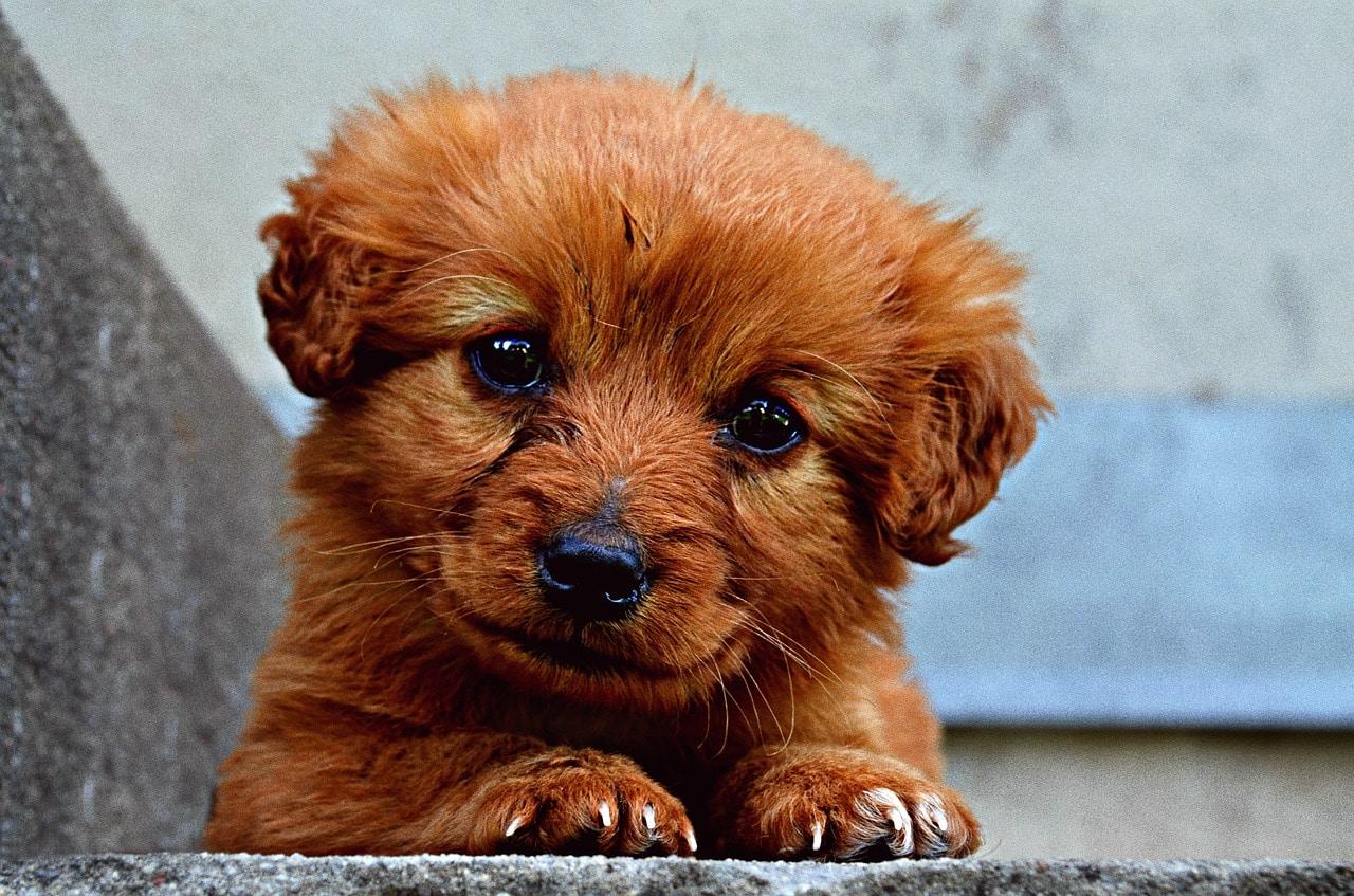animal, dog, puppy