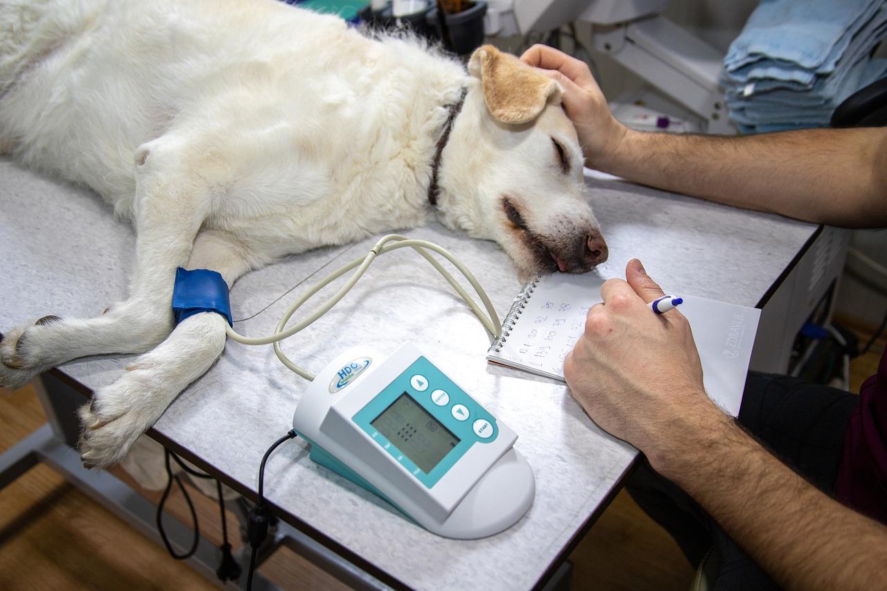 veterinary, blood pressure, pressure measurement