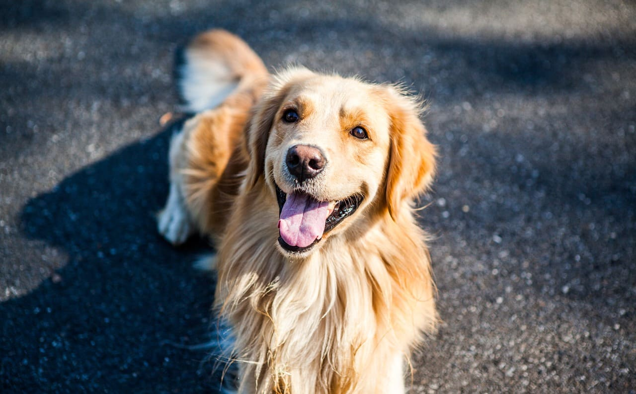 golden retriever, dog, pets